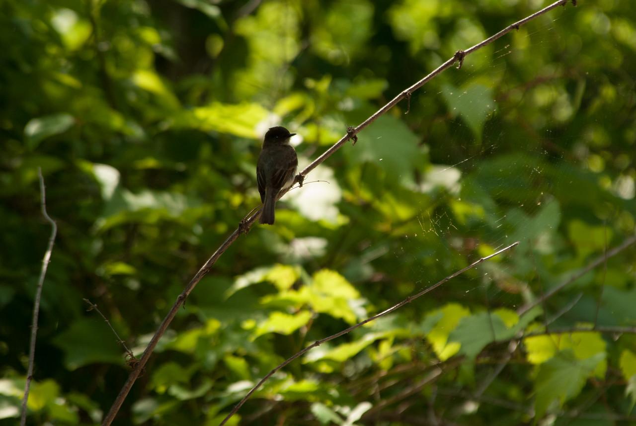 Flycatcher sp