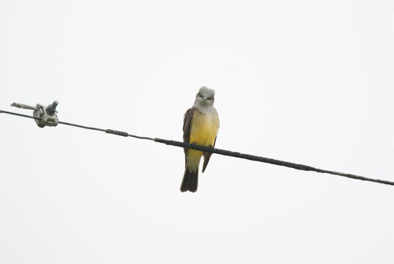 Western Kingbird (1)