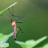 Tipulidae The adult crane fly has a slender body and stilt-like legs that are deciduous, easily coming off the body. The wingspan is generally about 1 to 6.5 centimeters. The antennae have up to 39 segments.[3] It is also characterized by a V-shaped suture on the back of the thorax and by its wing venation.[4] The rostrum is long; in some species it is as long as the head and thorax together                 Crane Fly, order (Diptera), Kingdom: 	Animalia Phylum: 	Arthropoda Class: 	Insecta Order: 	Diptera Suborder: 	Nematocera Infraorder: 	Tipulomorpha Superfamily: 	Tipuloidea Family: