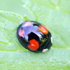 The Coccinellidae are a family of small beetles, ranging from 1 to 10 mm (0.04 to 0.4 inches). They are commonly yellow, orange, or scarlet with small black spots on their wing covers, with black legs, heads and antennae. Such colour patterns vary greatly, however; for example, a minority of species, such as Vibidia duodecimguttata, a twelve-spotted species, have whitish spots on a brown background. Coccinellids are found worldwide, with over 5,000 species described, more than 450 native to North America alone.  Coccinellidae are known colloquially as ladybirds (in Britain, Ireland and the Commonwealth), ladybugs (originating in North America) or lady cows, among other names. When they need to use a common name, entomologists widely prefer the names ladybird beetles or lady beetles as these insects are not true bugs.Ladybird, Animalia Phylum: Arthropoda Class: Insecta Order: Coleoptera Suborder: Polyphaga Superfamily: Cucujoidea Family: Coccinellidae