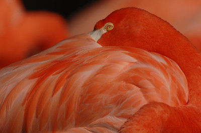Flamingo feathers; captive