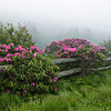 """Rhododendrons On Roan Mountain""  The rhododendrons bloom  profusely on Roan Mountain, at the Tennessee/North Carolina border."