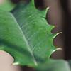 Holly Leaf Macro