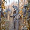 Corn Husk Closeup