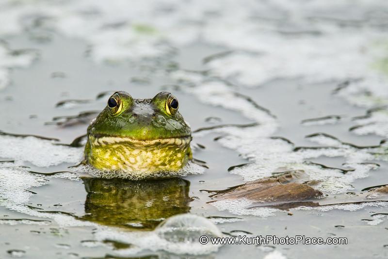 Great American Bullfrog