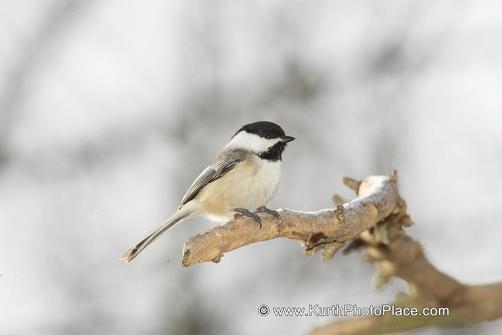 Chickadee - Fontenelle Forest Wetlands