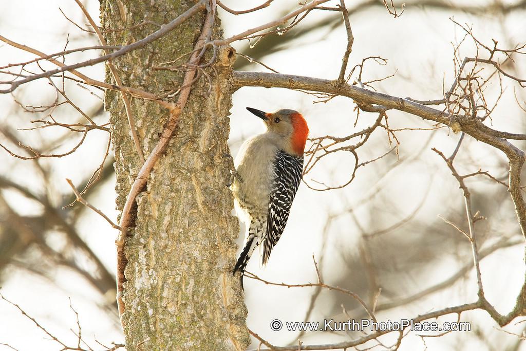 Red Bellied Woodpecker - Fontenelle Forest Wetlands