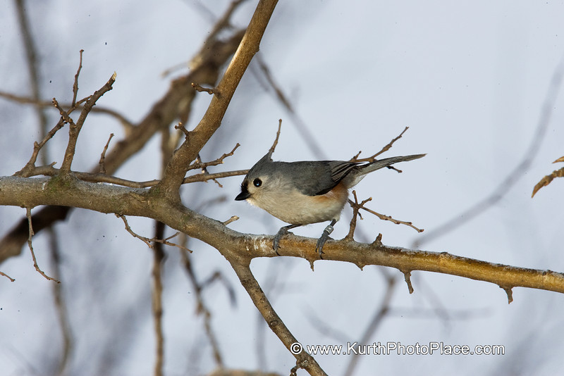 Tufted Titmouse - Fontenelle Forest Wetlands