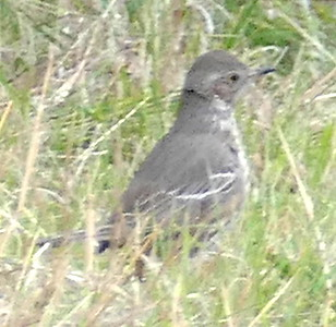 P179SageThrasher030 Mar. 7, 2019 7:52 a.m. P179030 Here is a Sage Thrasher, Oreoscoptes montanus, near the little cave behind the HQ offices at LBJ WC. A dozen hand-held distance shots made the ID slow but it didn't seem likely to be a baby mockingbird, and though I thought of Sage Thrasher, I sent the pics to WS who independently picked Sage Thrasher. Yay!! Thanks, Gavilan. Mimid.