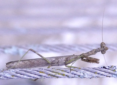 P176StagmomantisCarolina-youngMale691 Sep. 20, 2018  7:46 a.m.  P1760691 This fairly small Carolina Mantis, Stagmomantis carolina, is probably a young male.  Sseen at LBJ WC.  Mantid.
