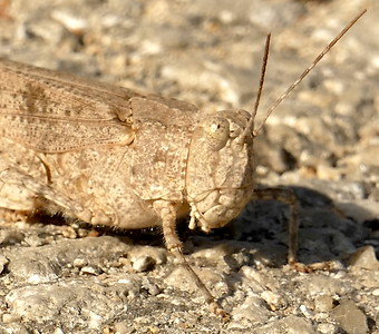 P175LactistaAzteca508 July 19, 2018  9:19 a.m.  P1750508 Here is a Lactista azteca, the Band-winged Grasshopper, in the middle of the staff parking lot road at LBJ WC.    Acridid.