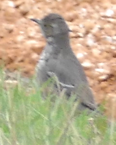P179SageThrasher038 Mar. 7, 2019 7:53 a.m. P179038 Here is a Sage Thrasher, Oreoscoptes montanus, near the little cave behind the HQ offices at LBJ WC. A dozen hand-held distance shots made the ID slow but it didn't seem likely to be a baby mockingbird, and though I thought of Sage Thrasher, I sent the pics to WS who independently picked Sage Thrasher. Yay!! Thanks, Gavilan. Mimid.