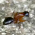 P182CamponotusTexanusCarpenterAnt062 June 13, 2019  7:44 a.m.  P1820062 This blurry little ant is actually Camponotus texanus, a Carpenter Ant, at LBJ WC.   Formicid.