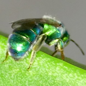 P183AugochloropsisMetallica702 Aug. 15, 2019  9:02 a.m.  P1830702 The green tegula on this sweat bee is diagnostic for Augochloropsis metallica.  (Same bee as #701.) Black lower leg makes it female.  Seen at LBJ WC.  Halictid.
