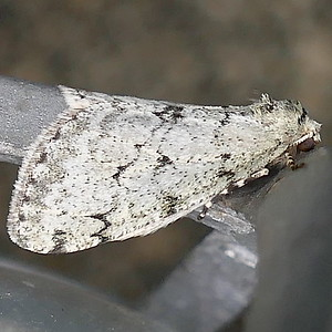 P171PhigaliaStrigataria520 Feb. 15, 2018  7:34 a.m.  P1710520 The unusual wrap-around position made this Phigalia srigataria, Small Phigalia, at LBJ WC a confusing ID.  Geometrid.