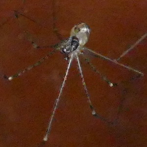 P183ModisimusTexanus620 Aug. 15, 2019  7:23 a.m.  P1830620 This cellar spider is Modisimus texanus, the one with the eyes out on a stalk.  Seen at LBJ WC behind the barn.  Pholcid.