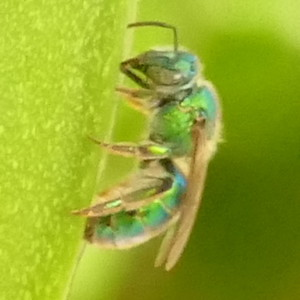 P175Two-tonedMetallicGreenBee462 July 19, 2018 8:16 a.m. P1750462 Unidentified metallic green bee. Black base to wings. Halictid.