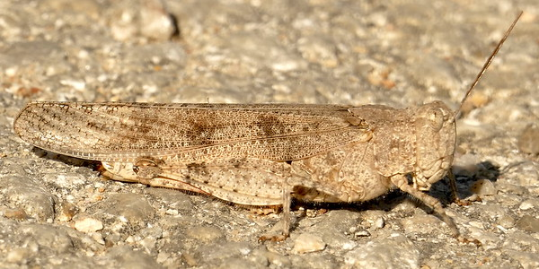 P175TrimeratropisMaritima505 July 19, 2018  9:18 a.m.  P1750505 Here is a Trimeratropis maritima, the Seaside Grasshopper, in the middle of the staff parking lot road at LBJ WC.    Acridid.