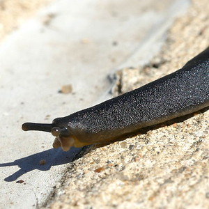 P182BelocaulusAngustipes-BlackVelvetLthrlfS-Veronicellid158 June 13, 2019  9:55 a.m.  P1820158 Here is a Black Velvet Leatherleaf Slug, Belocaulus angustipes, crossing the path in the family garden at LBJ WC.   Native to Brazil, Paraguay, and Argentina,  now in 8 states from SC to TX, since appearing in Mobile in 1960.  Mostly npcturnal and prefers humid situatioins.  Vseronicellid.
