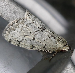 P171PhigaliaStrigataria519 Feb. 15, 2018  7:33 a.m.  P1710519 The unusual wrap-around position made this Phigalia srigataria, Small Phigalia, a confusing ID. At LBJ WC.   Geometrid.