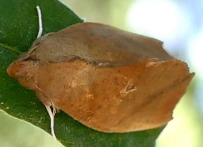 P183GoniapteryxServia044