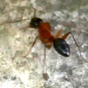 P182CamponotusTexanusCarpenterAnt061 June 13, 2019  7:44 a.m.  P1820061 This blurry little ant is actually Camponotus texanus, a Carpenter Ant, at LBJ WC.   Formicid.