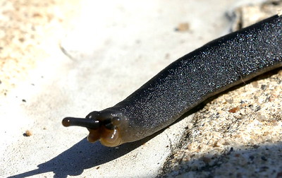 P182BelocaulusAngustipes-BlackVelvetLthrlfS-Veronicellid159 June 13, 2019  9:55 a.m.  P1820159 Here is a Black Velvet Leatherleaf Slug, Belocaulus angustipes, crossing the path in the family garden at LBJ WC.   Native to Brazil, Paraguay, and Argentina,  now in 8 states from SC to TX, since appearing in Mobile in 1960.  Mostly npcturnal and prefers humid situatioins.  Vseronicellid.