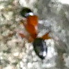 P182CamponotusTexanusCarpenterAnt060 June 13, 2019  7:44 a.m.  P1820060 This blurry little ant is actually Camponotus texanus, a Carpenter Ant, at LBJ WC.   Formicid.