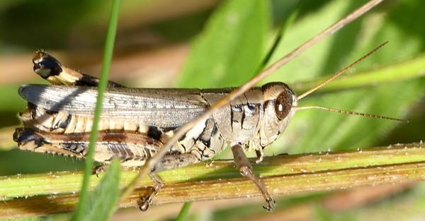 P182MelanoplusPonderosus113 June 13, 2019  9:07 a.m.  P1820113 This is an adult Melanoplus ponderosus, the Ponderous Grasshopper.  Seen at LBJ WC.  Acridid.