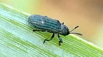 P183AnisostenaSp658 Aug. 15, 2019  8:25 a.m.  P1830658 This tiny corrugated black leaf beetle is an Anisostena species (maybe cyanea, funesta, or most likely--nigrita).  Uses grasses, nectars on flowers.  Chrysomelid.