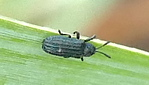 P183AnisostenaSp659 Aug. 15, 2019  8:26 a.m.  P1830659 This tiny corrugated black leaf beetle is an Anisostena species (maybe cyanea, funesta, or most likely--nigrita).  Uses grasses, nectars on flowers.  Chrysomelid.