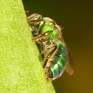 P175Two-tonedMetallicGreenBee429 July 19, 2018  8:10 a.m.  P1750429 Unidentified metallic green bee.  Black base to wings.  Halictid.