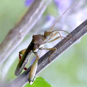 P176HyalymenusTarsatus-TxBow-lB Sep. 20, 2018  8:39 a.m.  P1760747 This is a Texas Bow-legged Bug, Hyalymenus tarsatus, at LBJ WC.  Alydid.