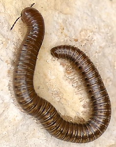 P171AniulusSp-JulidMillipede559 Feb. 15, 2018  9:14 a.m.  P1710559 John and Loretta Dahmus pointed out this Aniulus species millipede on a bench-shelter wall near the main garden at LBJ WC.  Julid.
