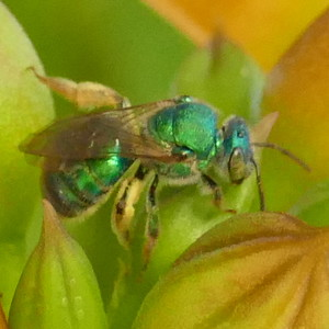 P175AugochloropsisMetallica-MetallicGreenBee468 July 19, 2018  8:16 a.m.  P1750468 This is an Augochloropsis metallic metallic green bee.  So far, only ID mark I know of is the green base to the wing.  Seen with similar ones that had all black at the base, not two-toned.  Halictid (and Augochlorini).  Just three of this genus in U.S, but similar to other Halictids.