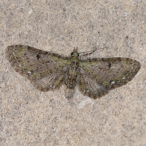 P171EupitheciaMiserulata473 Feb. 15, 2018  6:24 a.m.  P1710473 This is not the first time a Eupithecia miserulata, the Common Eupithecia,  has shown a green cast here at 2601, especially this time of year.  Geometrid.