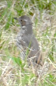 P179SageThrasher029 Mar. 7, 2019  7:52 a.m.  P179029 Here is a Sage Thrasher, Oreoscoptes montanus, near the little cave behind the HQ offices at LBJ WC.  A dozen hand-held distance shots made the ID slow but it didn't seem likely to be a baby mockingbird, and though I thought of Sage Thrasher, I sent the pics to WS who independently picked Sage Thrasher.  Yay!!  Thanks, Gavilan.  Mimid.