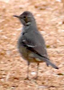 P179SageThrasher031 Mar. 7, 2019 7:53 a.m. P179031 Here is a Sage Thrasher, Oreoscoptes montanus, near the little cave behind the HQ offices at LBJ WC. A dozen hand-held distance shots made the ID slow but it didn't seem likely to be a baby mockingbird, and though I thought of Sage Thrasher, I sent the pics to WS who independently picked Sage Thrasher. Yay!! Thanks, Gavilan. Mimid.