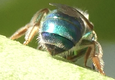 P183AugochloropsisMetallica700 Aug. 15, 2019  9:02 a.m.  P1830700 The green tegula on this sweat bee is diagnostic for Augochloropsis metallica.  Same bee as #701.  Black lower leg makes it female.  Seen at LBJ WC.  Halictid.