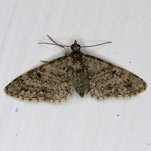 P179TinyGeoOr081 Mar. 9, 2019  7:24 a.m.  P1790081 This was probably a crambid, smaller than Achyra.  But I have searched all the MPG - Texas pages.  Any thoughts?  VB says Eupithecia, maybe zygadeniata.  Geo.