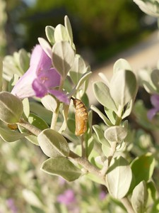 P175TheonaCkrspot-Chrysalis494 July 19, 2018  9:09 a.m.  P1750494 The pale-foliaged Leucophyllum bushes seen in masses in places in West Texas sport beautiful lavendar flowers after rains.  Those at LBJ WC on occasion have caterpillars of Theona Checkerspot, and therefore chrysalids like this one.  Today's are our first in maybe three years.  Nymphalid.