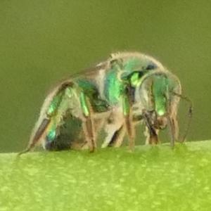 P175Two-tonedMetallicGreenBee449 July 19, 2018 8:14 a.m. P1750449 Unidentified metallic green bee. Black base to wings. Halictid.