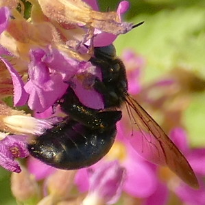 P175XylocopaMicans-SCarpBee518 July 19, 2018  9:40 a.m.  P1750518 The Southern Carpenter Bee, Xylocopa micans, is shiny black except for a few white spots on the side of the rear part of the abdomen.  Apid.