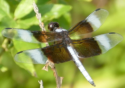 P183WidowSkimmer674 Aug. 15, 2019  8:47 a.m.  P1830674 Another Widow Skimer, Libellula luctuosa, was at LBJ WC today.  Libellulid.