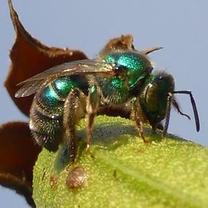 P175BluishMetallicGreenBee443 July 19, 2018 8:13 a.m. P1750443 Unidentified metallic green bee. Black base to wings. Halictid.