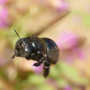 P175XylocopaMicans-SCarpBee524 July 19, 2018  9:40 a.m.  P1750524 The Southern Carpenter Bee, Xylocopa micans, is shiny black except for a few small white spots on the side of the rear part of the abdomen.  Apid.