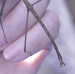 P176DiapheromeraVelii-PrairieWalkingStick695 Sep. 20, 2018 7:50 a.m. P1760695 This walking stick matches well to Prairie Walking Stick, Diapheromera velii, BG pics from the eRGV. The shape of the male parts is an important character. Diapheromerid.