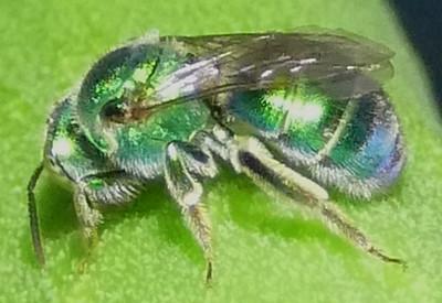 P183AugochloropsisMetallica-fem700 Aug. 15, 2019  9:02 a.m.  P1830700 The green tegula on this sweat bee is diagnostic for Augochloropsis metallica.  Black lower leg makes it female.  Seen at LBJ WC.  Halictid.