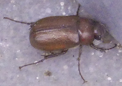 """P176PhyllophagaSp688 Sep. 20, 2018  7:31 a.m.  P1760688 Here is a Phyllophaga species """"June Bug"""" on the catwalk at LBJ WC.   Do black legs help with the ID?  Not P. rubiginosa.    Scarabaeid."""