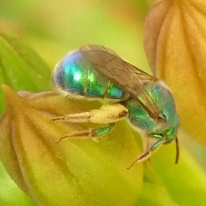 P175AugochloropsisMetallica-MetallicGreenBee470 July 19, 2018  8:16 a.m.  P1750470 This is an Augochloropsis metallic metallic green bee.  So far, only ID mark I know of is the green base to the wing.  Seen with similar ones that had all black at the base, not two-toned.  Halictid (and Augochlorini).  Just three of this genus in U.S, but similar to other Halictids.